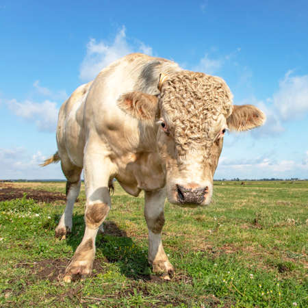 White blond Charolais bull with curls approaches threateningly, looking dangerous in a green pasture and blue sky