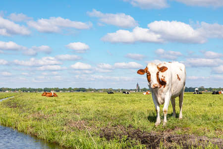 Cow at the bank of a creek, typical landscape of Holland, flat land and water and on the horizon a blue sky with white clouds.