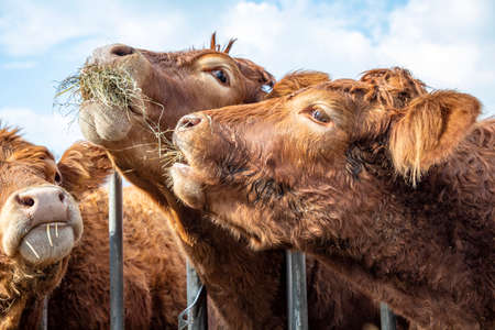Heads of Limousin cows, brown and curly playfully take hay from each other at the feeding rack