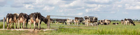 Group of cows passing a gate in the pasture, peaceful and sunny in Dutch landscape of flat land with a blue sky with clouds, panoramic view