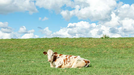 Cow lying down at the bottom of a grass dike, relaxed and happy, red with white spotted.