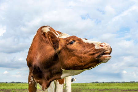 Portrait of a cow, mooing red and white, pink nose and blue sky 免版税图像