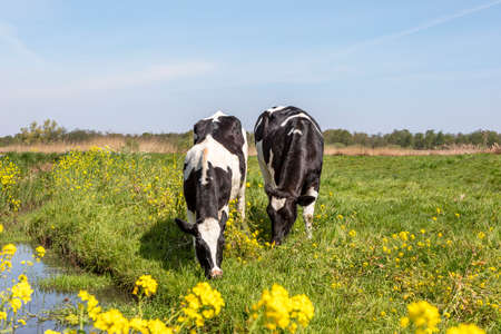 Two young cows happy grazing lovingly together, in a green meadow with yellow flowers and a blue sky, blossom brassica rapa