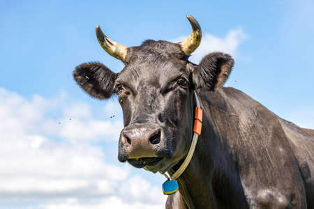 Head of a black cow, looking calm and friendly, portrait of a mature and calm cow with horns