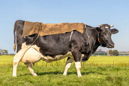 Cow, a sack on her back, full big udders in a green pasture in the Netherlands