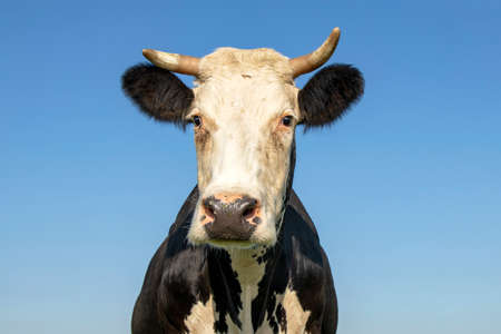 Cow looking surprised, portrait of a mature and calm cow with horns, gentle squint look, and a blue background