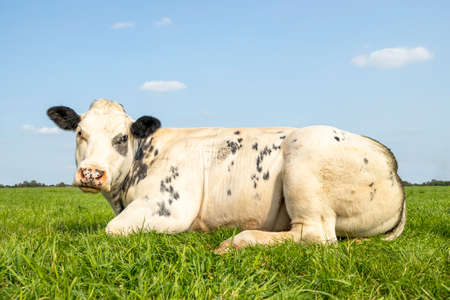Lovely white beef cow looking sweet while lying down in the field, blue sky and straight horizon