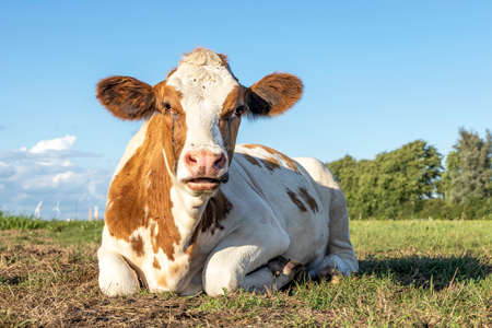 Lying relaxed cow. Brown and white, comfortable ruminating a heifer is mooing, mouth open in a field and lazy chewing Imagens