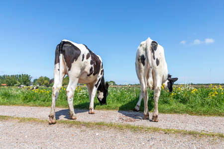 Two cows graze on a path in the meadow, heifer seen from behind, stroll towards the horizon, with a blue sky, black and white Zdjęcie Seryjne