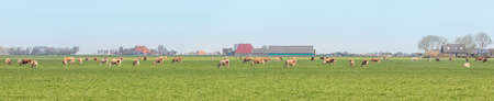Jersey cows grazing in the pasture, peaceful and sunny in Dutch Friesian landscape of flat land with a blue sky and a straight horizon, wide panoramic view