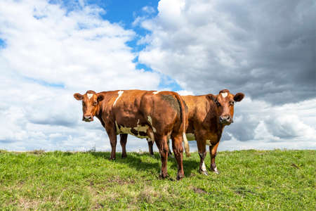 Two beef cows, meat and dairy cattle, dual purpose looking side by side, one cow from behind and one front in a pasture