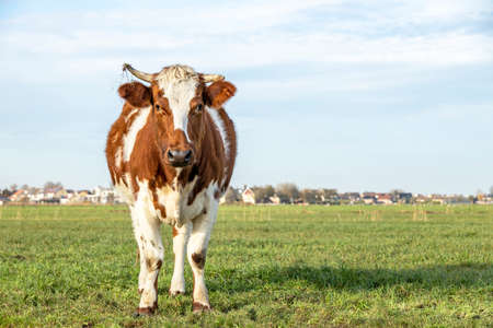 Cute red brown dairy cow stands in a meadow, blue sky, green grass on horn