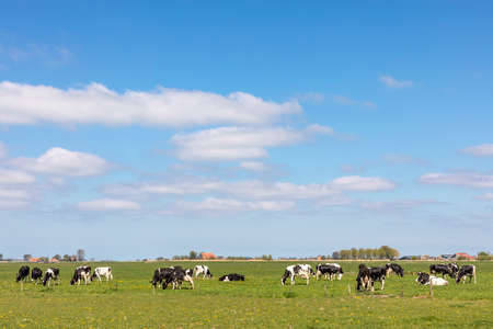 Cows in landscape grazing in the pasture, peaceful and sunny in flat land with clouds on the horizon, wide view of herd in field, a wide view with dairy livestock 免版税图像
