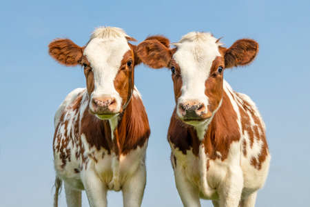 Cute cow calves tender love portrait of two cows, lovingly together, with dreamy eyes, red and white with pale blue sky background