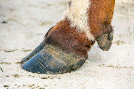 Hoof of a cow close up standing on a concrete path, black nail, brown and white coat