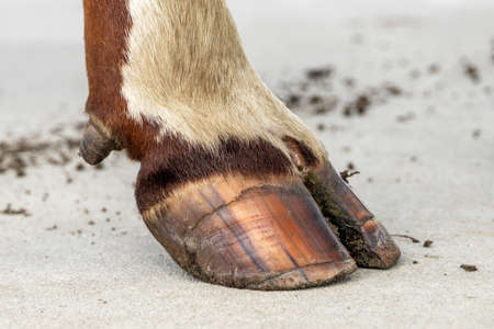 Hoof of a dairy cow standing on a concrete path, red and white fur