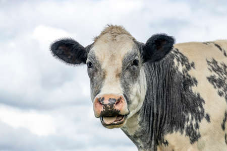 Cute cow licking her lips with her tongue far out and a cloudy sky background