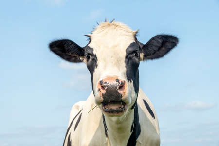 Funny cow, calling indignant, black and white pink nose and in front of a blue sky, head with mouth open drooling and heckling 免版税图像