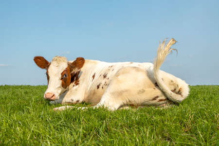 Cow lying down tail swinging, red and white in a pasture lazy, looking naughty in a green pasture and a blue sky