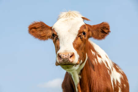 Cow portrait with flies, a cute and calm red bovine, with white blaze, pink nose, friendly and calm expression, adorable furry