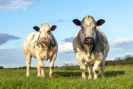 Two white beef cows, meat cattle looking and standing upright side by side together in a field 免版税图像