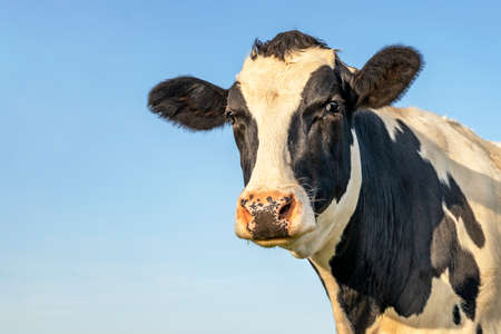 Head of a cow, looking friendly, mature black and white with pink nose and blue background with copy space