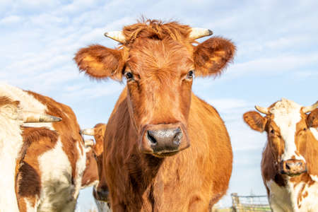 Cow head red horned with black nose and calm friendly expression walking in a herd of cows and pale blue background 免版税图像