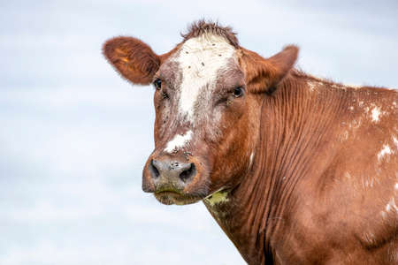 Cow dual purpose looking straight into the camera, red white head with dreamy eyes calm friendly expression and pale blue background. 免版税图像