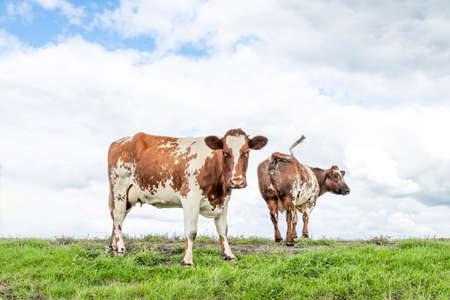 Cows, in a field under a blue sky and a faraway straight horizon, one rearview walking away, and one cow looking at the camera