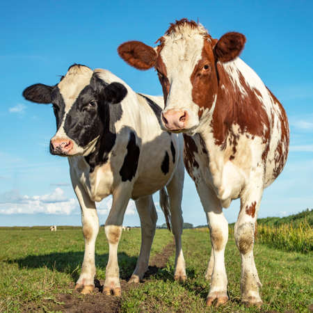 Two cows, holstein, standing in a pasture under a blue sky and a faraway straight horizon