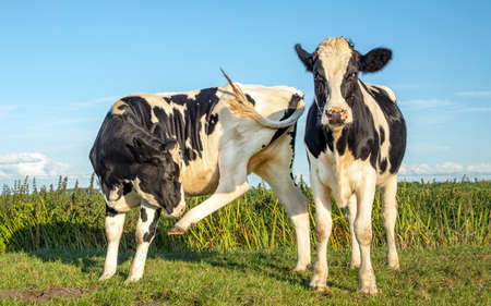 Two black and white cows, frisian holstein, one cow with an itch licking raised hind leg, both standing in a pasture under a blue sky and a straight horizon. 免版税图像