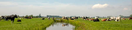A herd of cows in a meadow with a ditch in the middle and a cow on a bridge reflected in the water under a blue sky, wide view