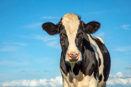Mature, adult black and white cow, gentle look, pink nose, in front view and a blue sky.