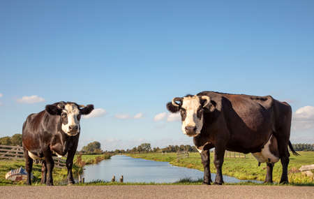 Two black and white cows, fleckvieh blaarkop, standing next to a ditch, under a blue sky and a faraway straight horizon.