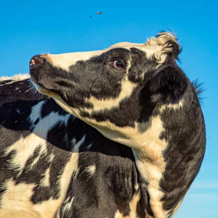 Cow turning her head to look backwards and a blue sky.