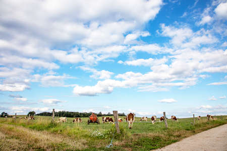 Bunch of cows grazing in the pasture, peaceful and sunny in the Jura, France a blue sky with clouds