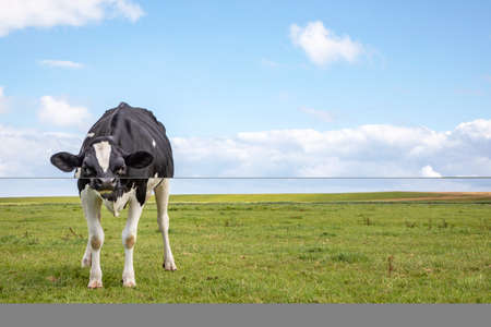A black and white cow, looking angry distrustful, in a green pasture under a blue cloudy sky and a distant straight horizon behind.
