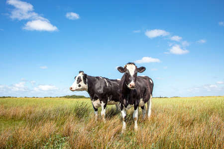 Two black and white cows standing in the salt marshes of Schiermonnikoog under a blue sky and a faraway straight horizon. 免版税图像