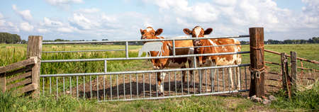 Two young cows behind an iron gate, together standing in a green pasture, next to each other with at the background a blue sky. 免版税图像