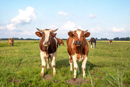 Two cute little cows looking up, soft and friendly standing in a pasture under a blue sky and a faraway straight horizon.