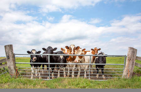 Group of young cows behind a gate, together standing in a green pasture, next to each other with at the background a blue sky.