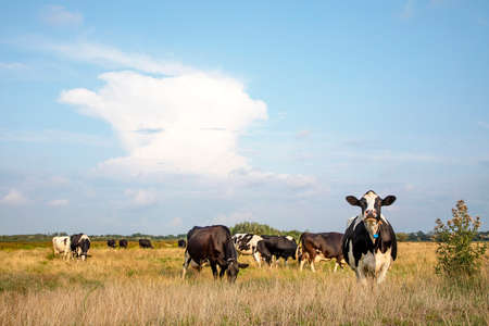 Black and white cows calm grazing, one looking up upright under a blue sky and a faraway straight horizon,