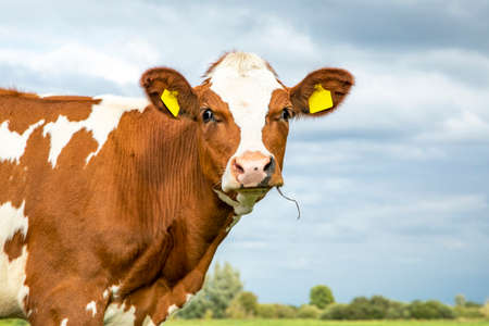 Adorable cute silly cow with droopy eyes, and blades of grass in her mouth, close up, and a blue cloudy sky.