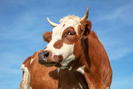 Red and white dairy cow looking over shoulder with horns and a blue sky background.