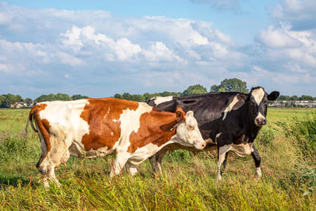 Joyful cows walking and hopping through the green meadow, happy and playful on a sunny day.