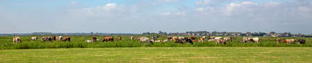 Group of cows graze in a field, peaceful and sunny in Dutch landscape of flat land with a blue sky with clouds on the horizon. 免版税图像
