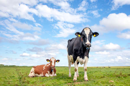 Two cows are together in the field, one standing the other lying next to each other.