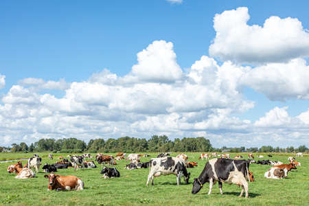 Herd of cows grazing in a meadow, peaceful and sunny in Dutch landscape of flat land with a blue sky with clouds on the horizon.