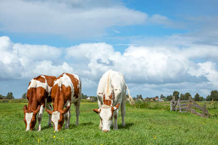 Three cows graze in a meadow, seen from the front, totally in view, with a beautiful cloudy sky as background.