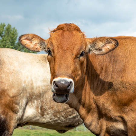 Portrait of a Jersey cow with black snout, chewing head lool out.